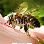 Пыльца пчелиная фото