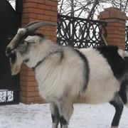 Альпийский козел на племя фото