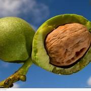 Грецкий орех. Только на экспорт. фото