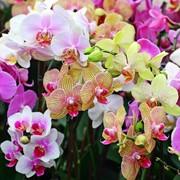 Семена Орхидеи АКЦИЯ 20 СЕМЯН МИКС 27грн вместо 34грн фото