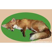 Чучело спящей лисы фото