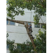 Обрезка и снос деревьев фото
