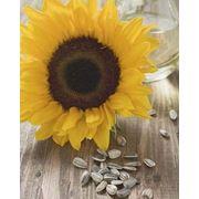 Сушка семян для производства масла фото