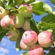 Гаубсин препарат инсекто-фунгицидного действия для защиты плодовых и сельскохозяйственных культур от насекомых-вредителей и болезней фото
