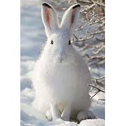 Заяц-беляк фото