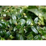 Самшит вечнозеленый — Buxaceae фото