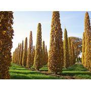 "Quercus robur ""Fastigiata Koster"" Дуб черешчатый ""Фастигиата Костер"" фото"