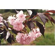 """Prunus serulata """"Royal Burgundy"""" Вишня мелкопильчатая """"Роял Бургунди"""" фото"""