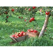 Деревья фруктовые фото