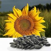 Семена подсолнечника Лакомка Кондитерский фото