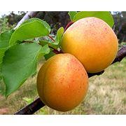 Саженцы абрикоса фото