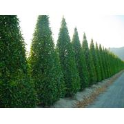 Carpinus betulus фото