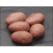 Cartofi de samanta фото