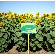 Гибридные семяна подсолнечника Ксения фото
