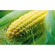 Семена кукурузы селекции Pioneer фото