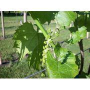 Опоры для винограда фотография