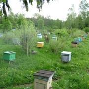 Пчелиные семьи и пчелопакеты в Курске фото
