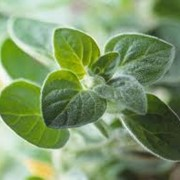 Семена майорана фото