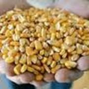 Купим оптом кукурузу фуражную фото