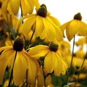 "Рудбекия глянцевидная (Rudbeckia nitida) ""Herbstsonne"" фото"