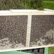 Пчелопакеты,купить,продать,опт,розница фото