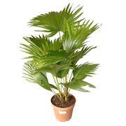 Пальмовые растения комнатные фото