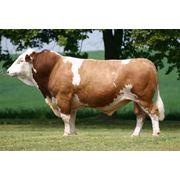Системы кормления коров с отличным производством молока и рождаемостью фото