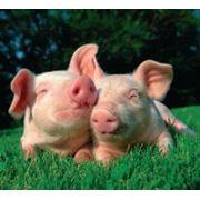Поставки хлевных технологий для разведения свиней фото