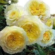 Роза староанглийская Нельсон Монфорт. фото