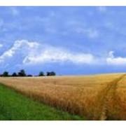 Зерно фуражное фото