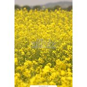 Рапс и зерновые фото
