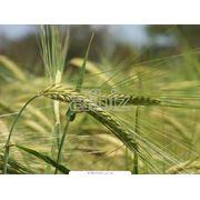 Фуражное зерно хорошего качества фото
