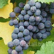 Виноград технических сортов фото