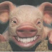 Куплю головы свиные фото