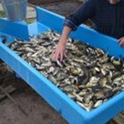 Транспортировка живой рыбы фото
