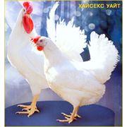 Яйцо молодой курицы фото