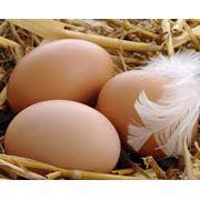Яйца гусиные инкубационные фото