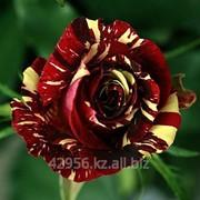 Саженцы роз Абракадабра фото