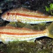 Барабулька :Рыба морская фото