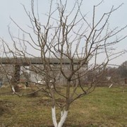 Обрезка яблонь фото
