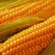 Кукуруза, семена гибридов: ДКС-2960, ДКС-3511, Йоги КС / Yogi CS, Мастри КС / Mastri CS, Скафор / Skafor. фото
