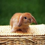 Fireman, ЧП, Днепродзержинск. Разведение, продажа породистых взрослых кроликов и крольчат. Пушной промысел. Животные и зоотовары. фото