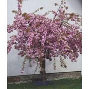 Сакура Prunus serr. Kiku-shidare-sakura обхват ствола 120KM фото