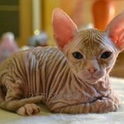 Котенок донского сфинкса фото