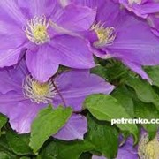 Выращивание однолетних и многолетних цветов фото