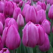 Тюльпаны Barselona к 8 марта фото