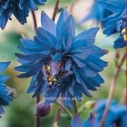 Аквилегия Double Blue фото