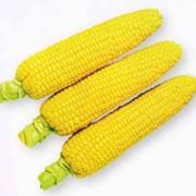 Кукуруза гибридная Яровец 243СВ фото