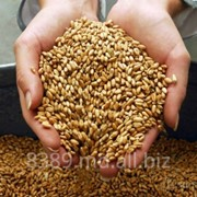 Пшеница, ячмень, кукуруза, подсолнечник, рапс, лен, нут, горох, чечевица, сорго фото