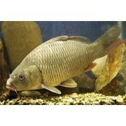 Карп карп речная рыба фото